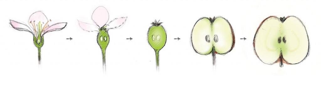 Le fruit provient d'une plante à fleurs. Le légume d' une plante potagère source image : uvm.org